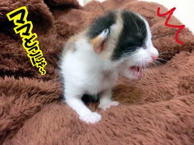 思いっきり叫ぶ猫